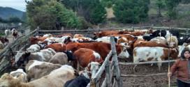 Operativos en Ganadería Bovina se realizan en diferentes sectores rurales de la Comuna de Traiguén a través de Convenio de Emergencia SAG – INDAP